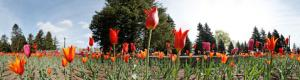 Tulips at the Montreal Botanical Garden